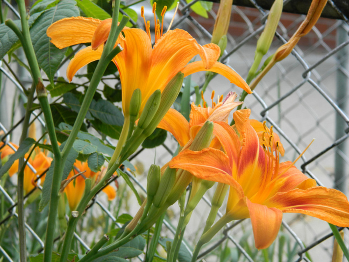 "The daylily from the family Hemerocallidoideae commonly called ""Tiger Lily"" and valued as a food source for centuries."