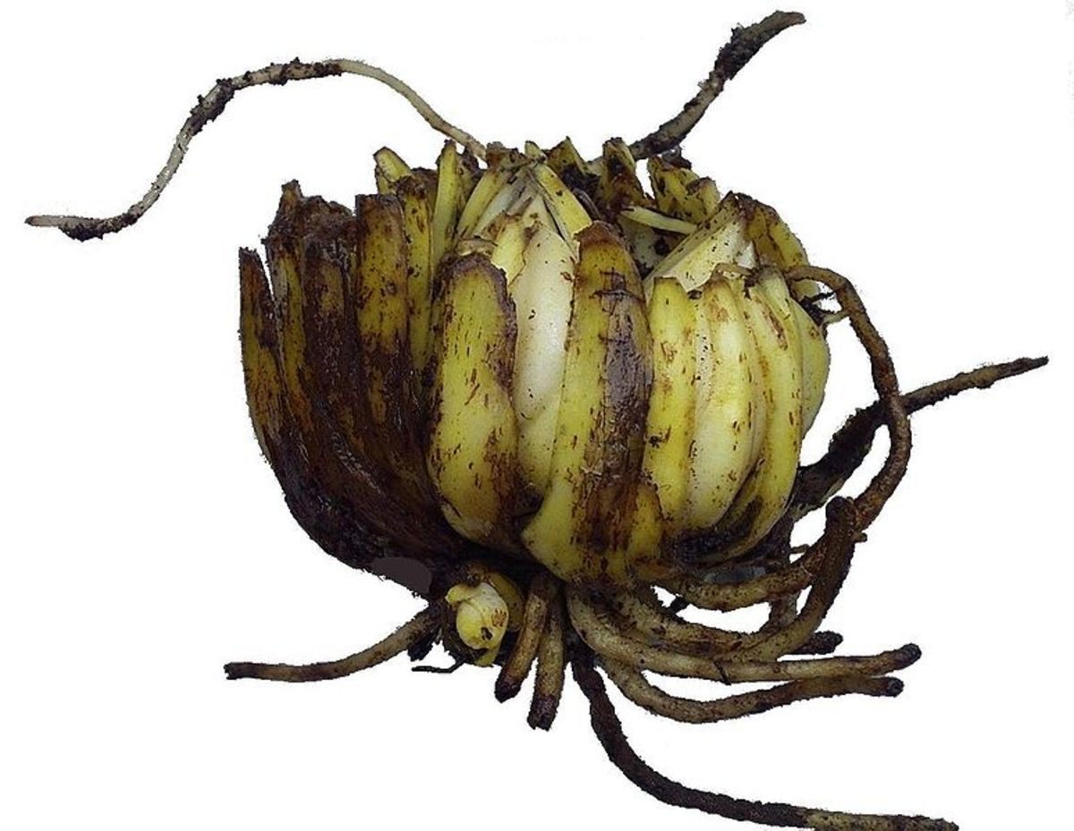 Lily Root System (Bulb)