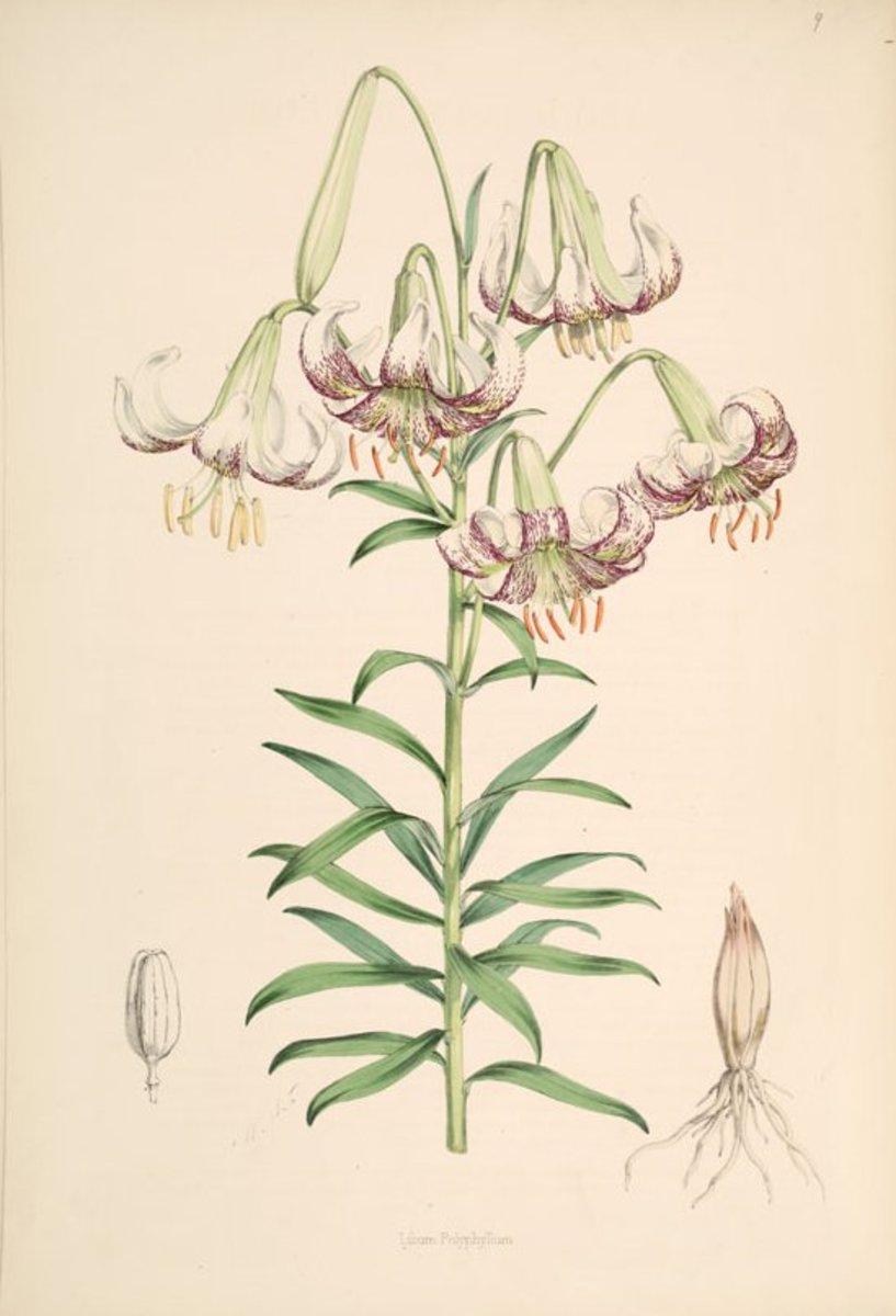 Lily - Lilium polyphyllum
