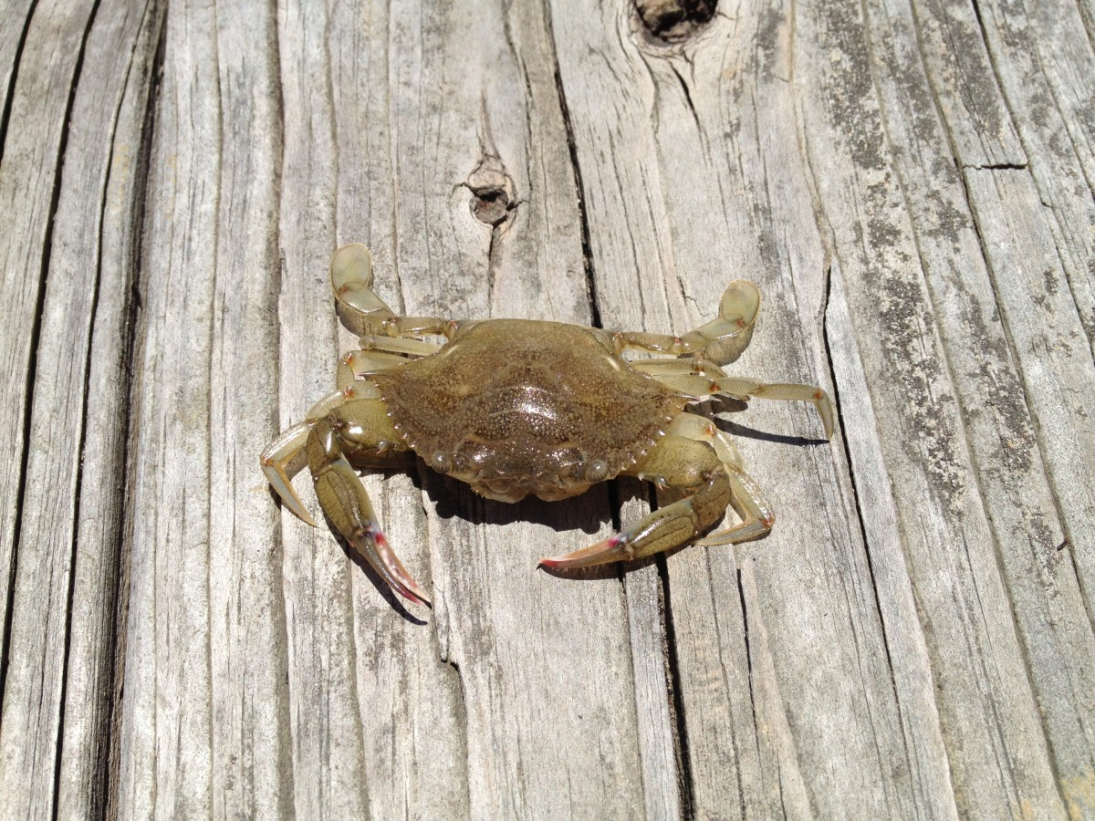 How big is this blue crab?