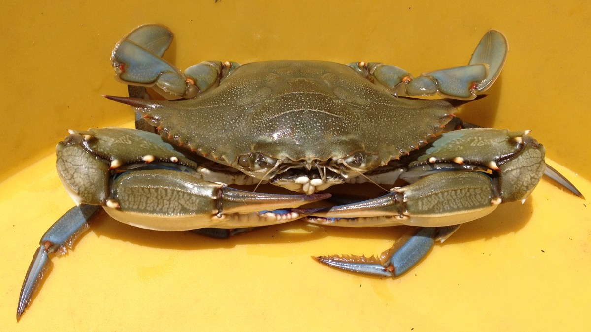 """Jimmy"" is another name for a male crab"