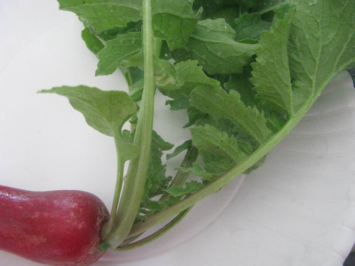 Radish leaves are edible, with a bitter taste and a rough texture. Best sauteed or paired with a sweet dressing.