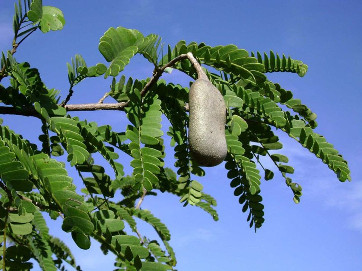 A tamarind tree with fruit