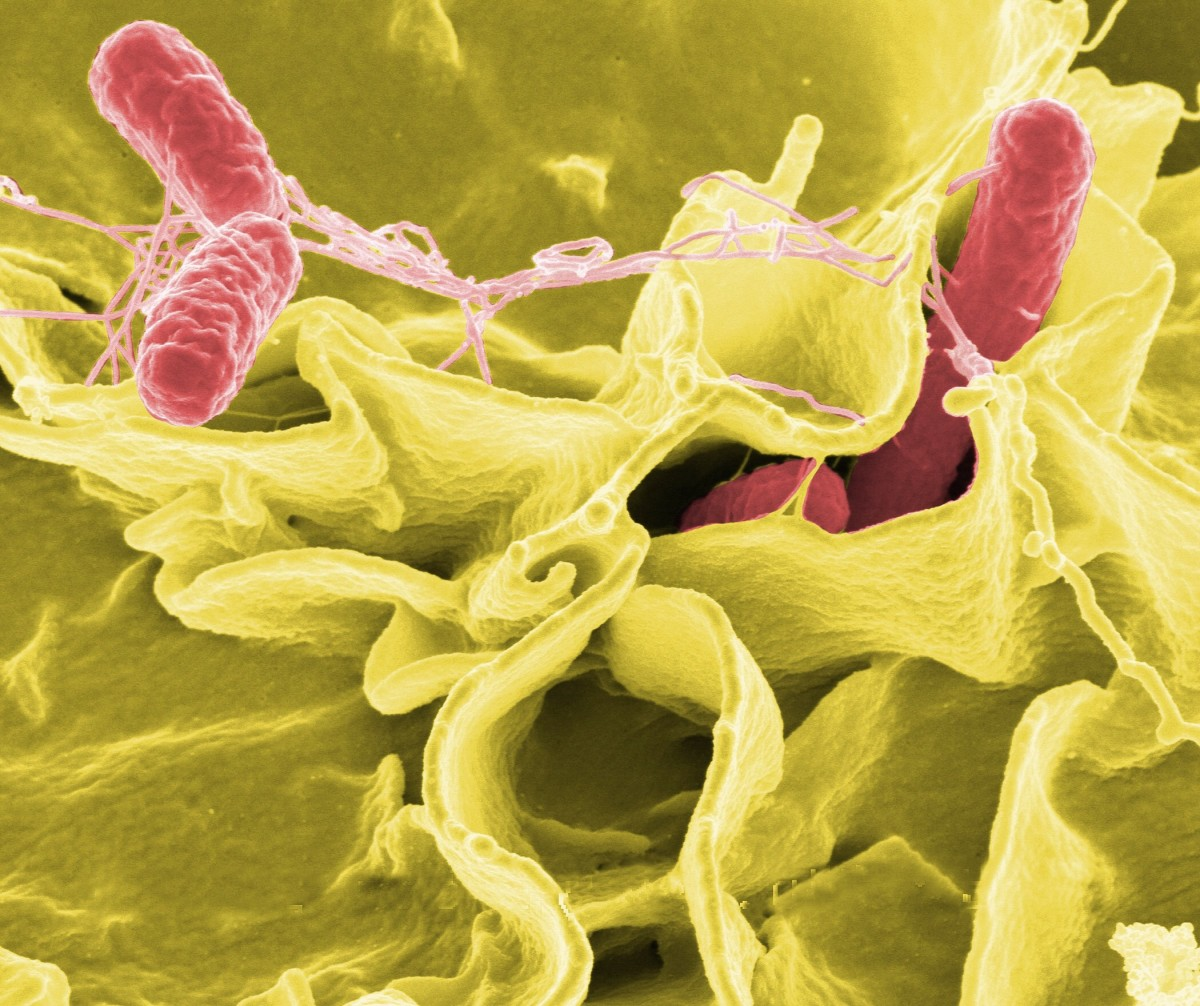 Salmonella is a rod-shaped bacterium.
