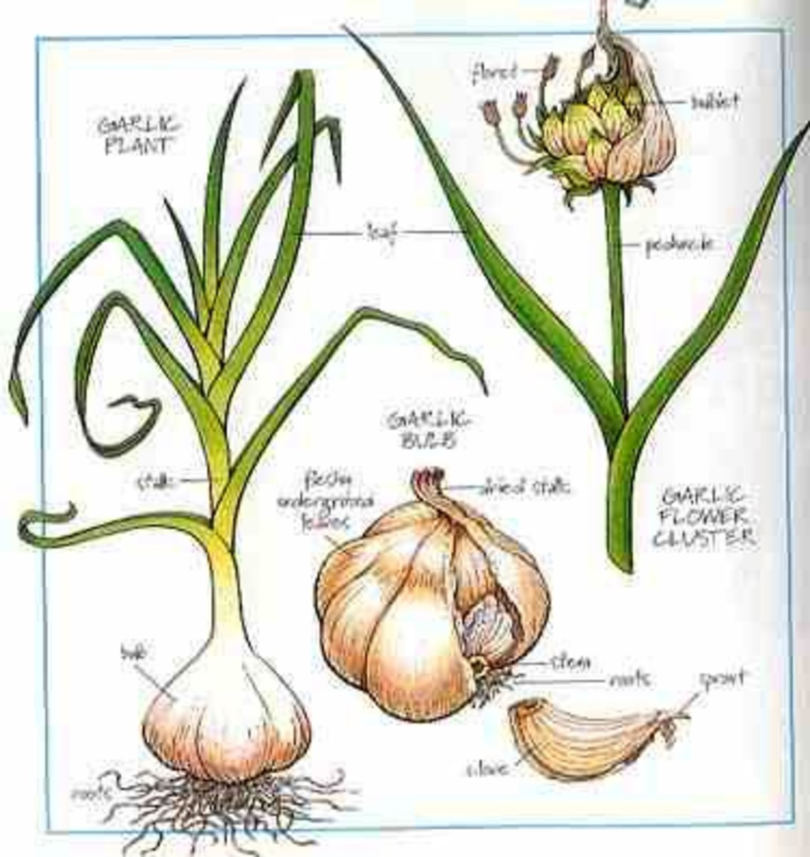 Picture of a garlic plant showing the characteristics of bulbous plants like onion grass.