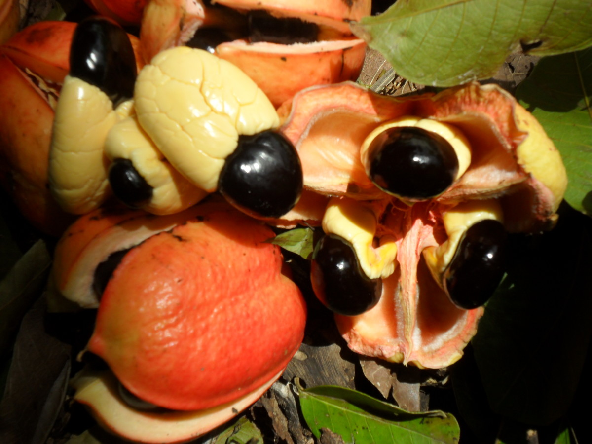 The ackee fruit in its pod