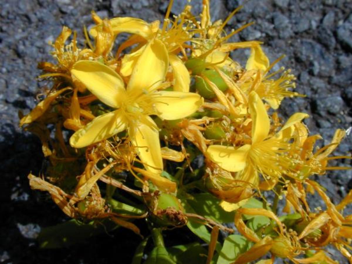 St John's Wort flowers. Photo by Steve Andrews