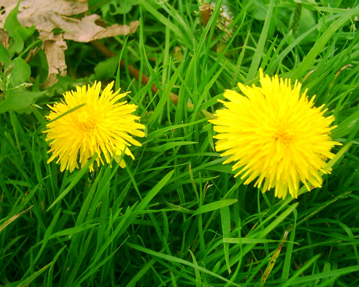 dandelion flowers. Photo by Steve Andrews