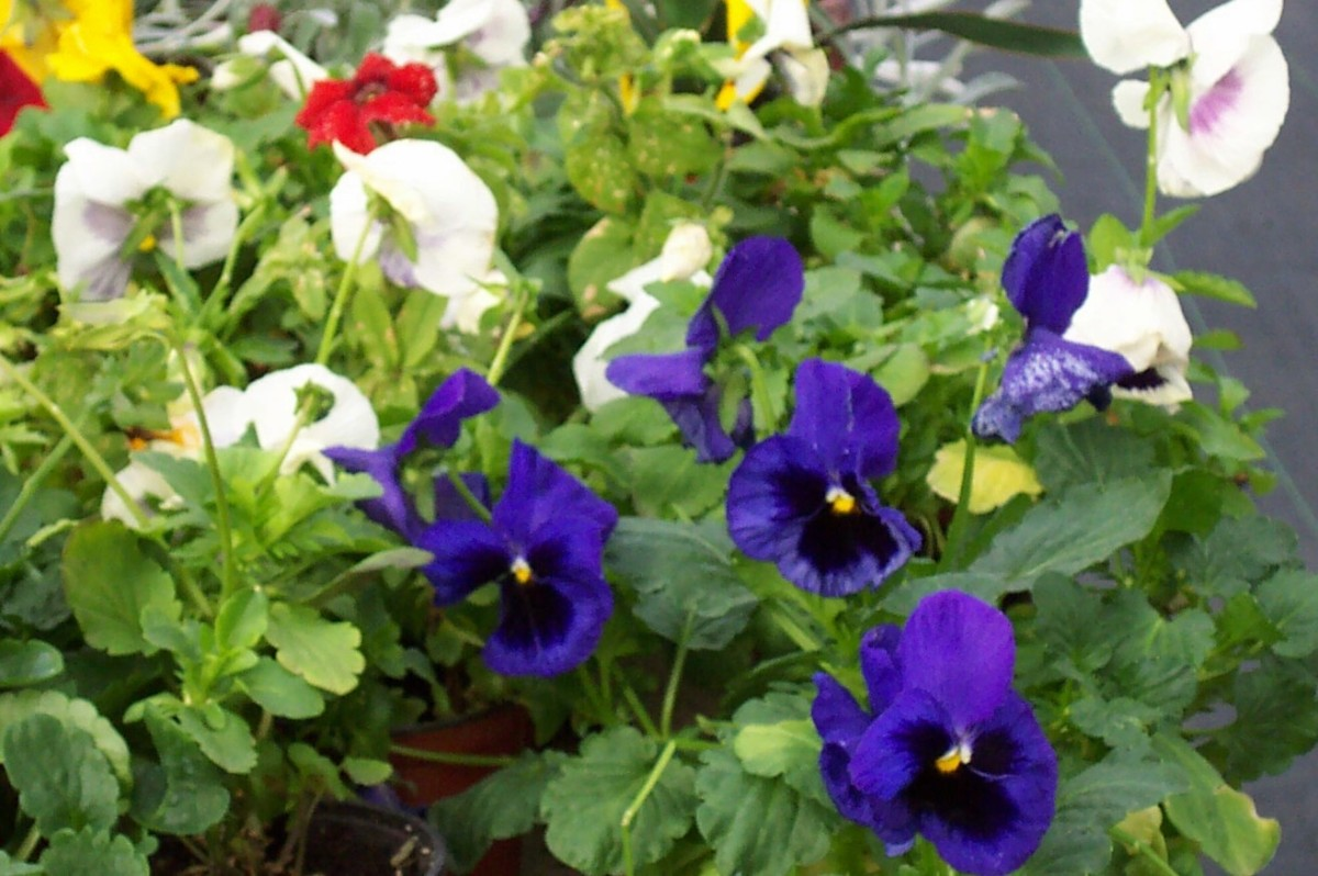Pansies. Photo by Steve Andrews