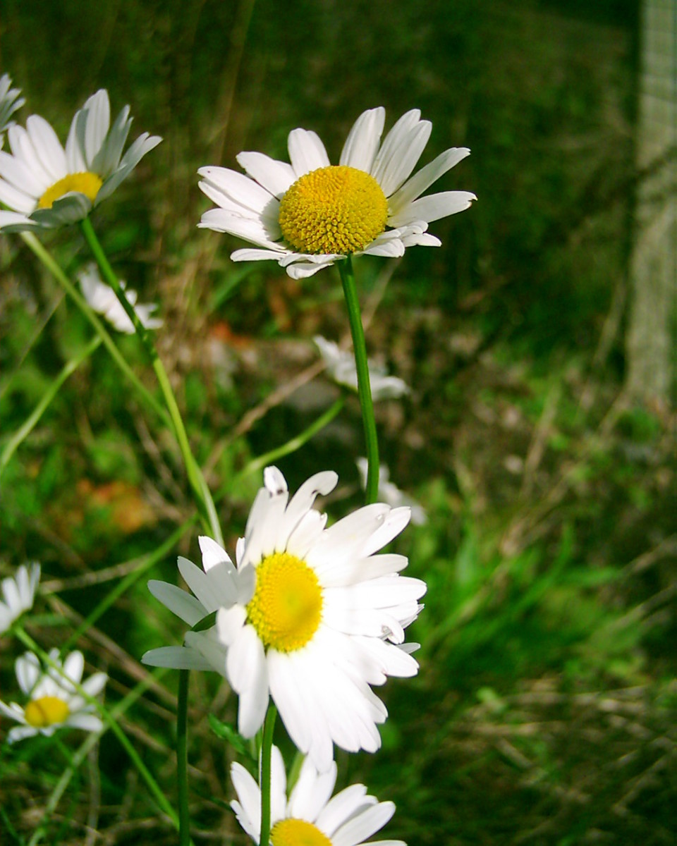 Ox-eye Daisies. Photo by Steve Andrews