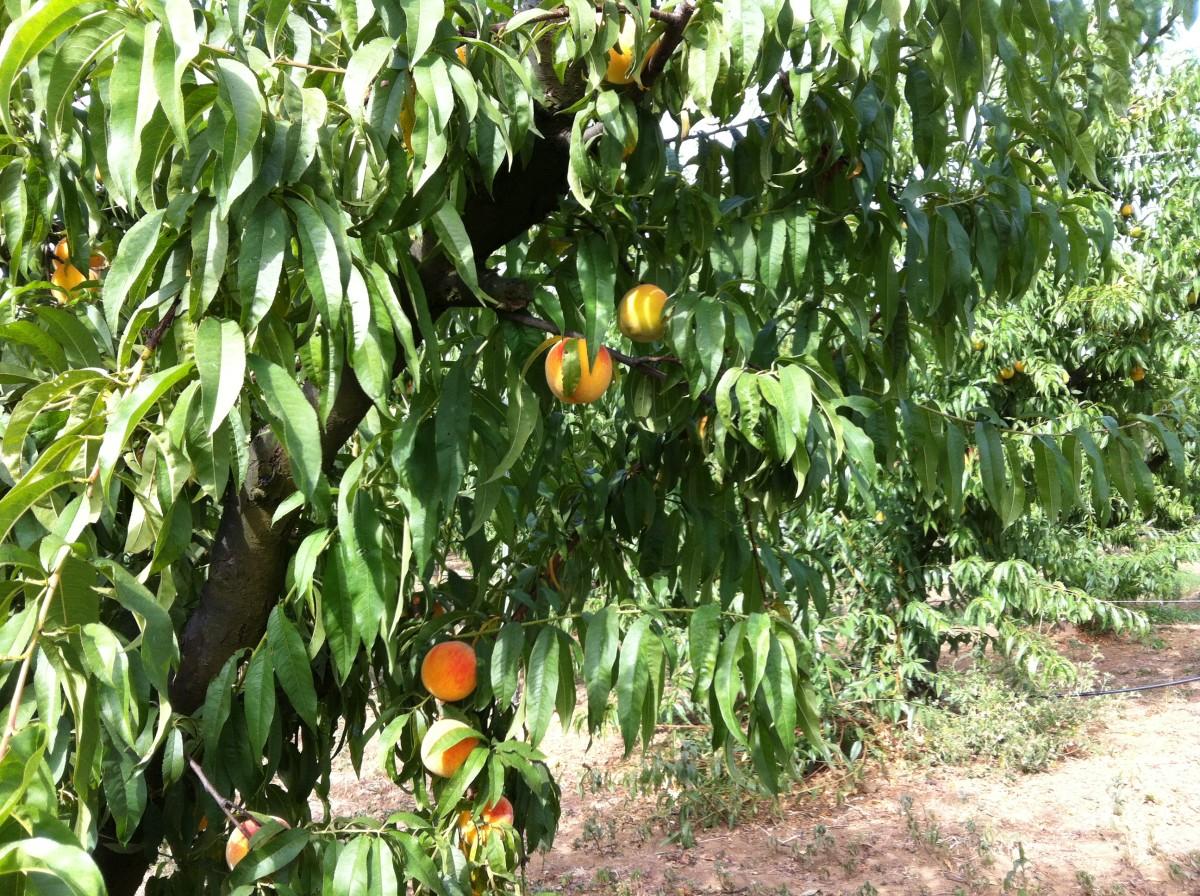 Garden Peach Tree