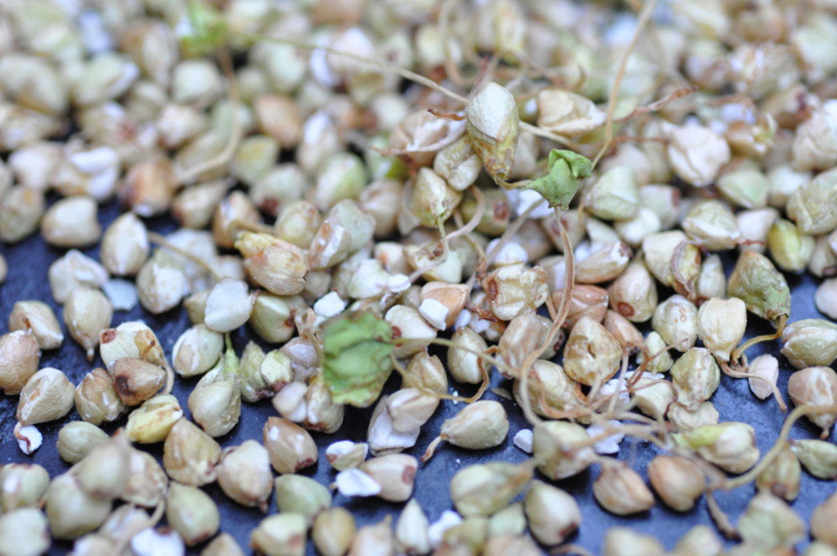 Roasted sprouted buckwheat. Ready for grinding into malt powder. Lovely nutty fragrance. Image: © Siu Ling Hui