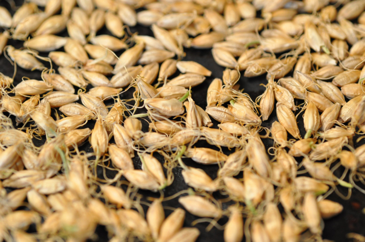 Roasted sprouted barley. Image: © Siu Ling Hui