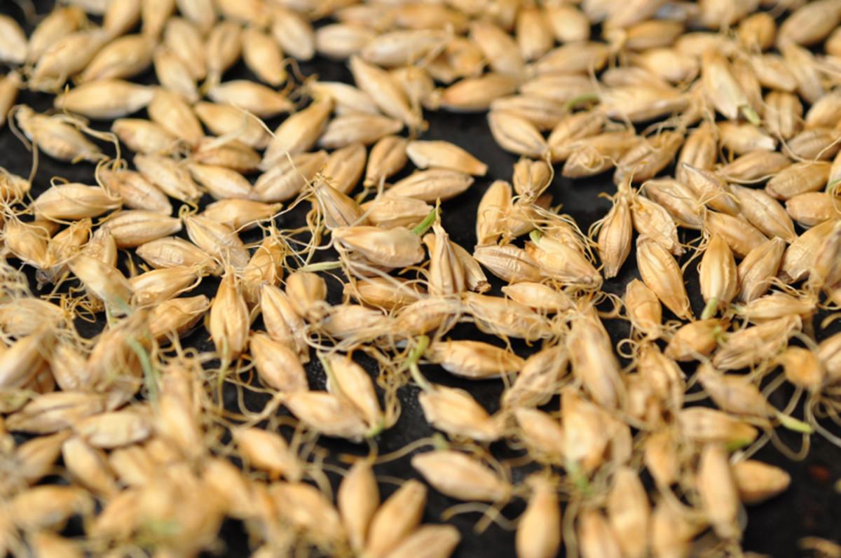 Roasted sprouted barley. Image: © Siu Ling Hui