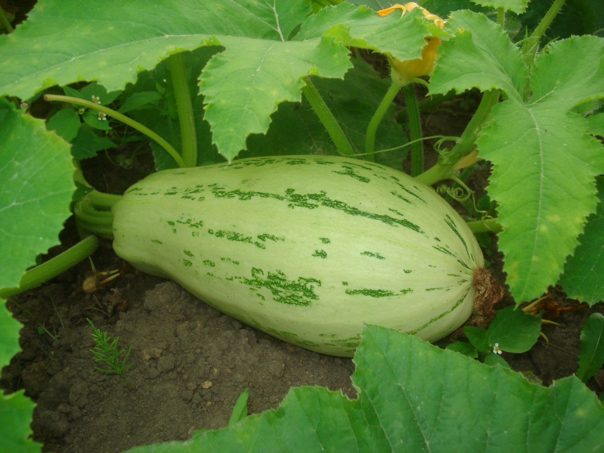 Zucchini is a great vegetable choice due to its many nutrients.