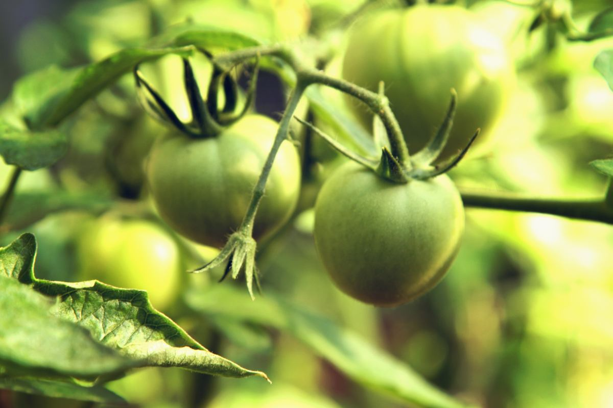 making-the-perfect-green-tomato-chutney