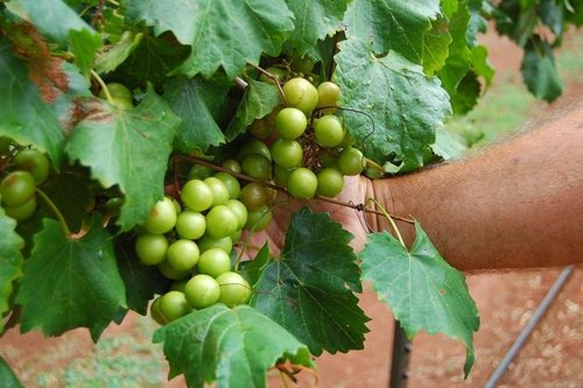 Grow Your Own Muscadine Grape Vines