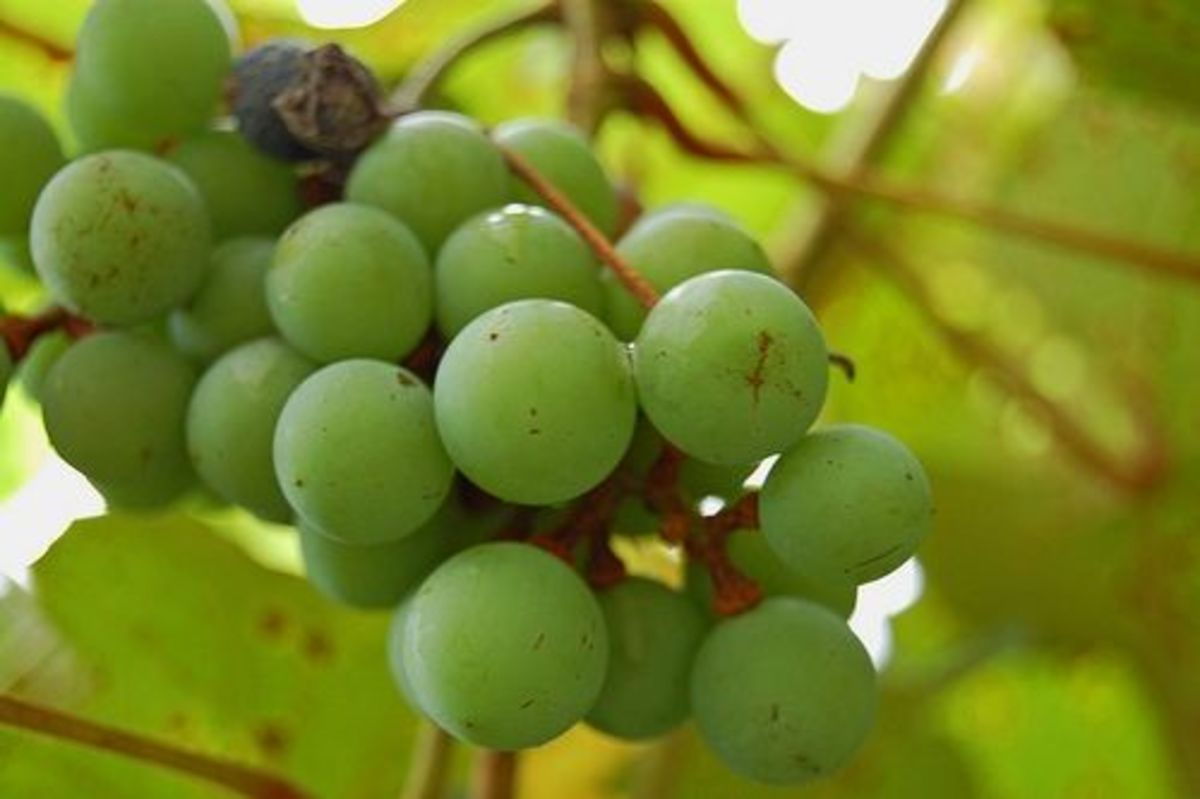 Green Muscadine Grapes