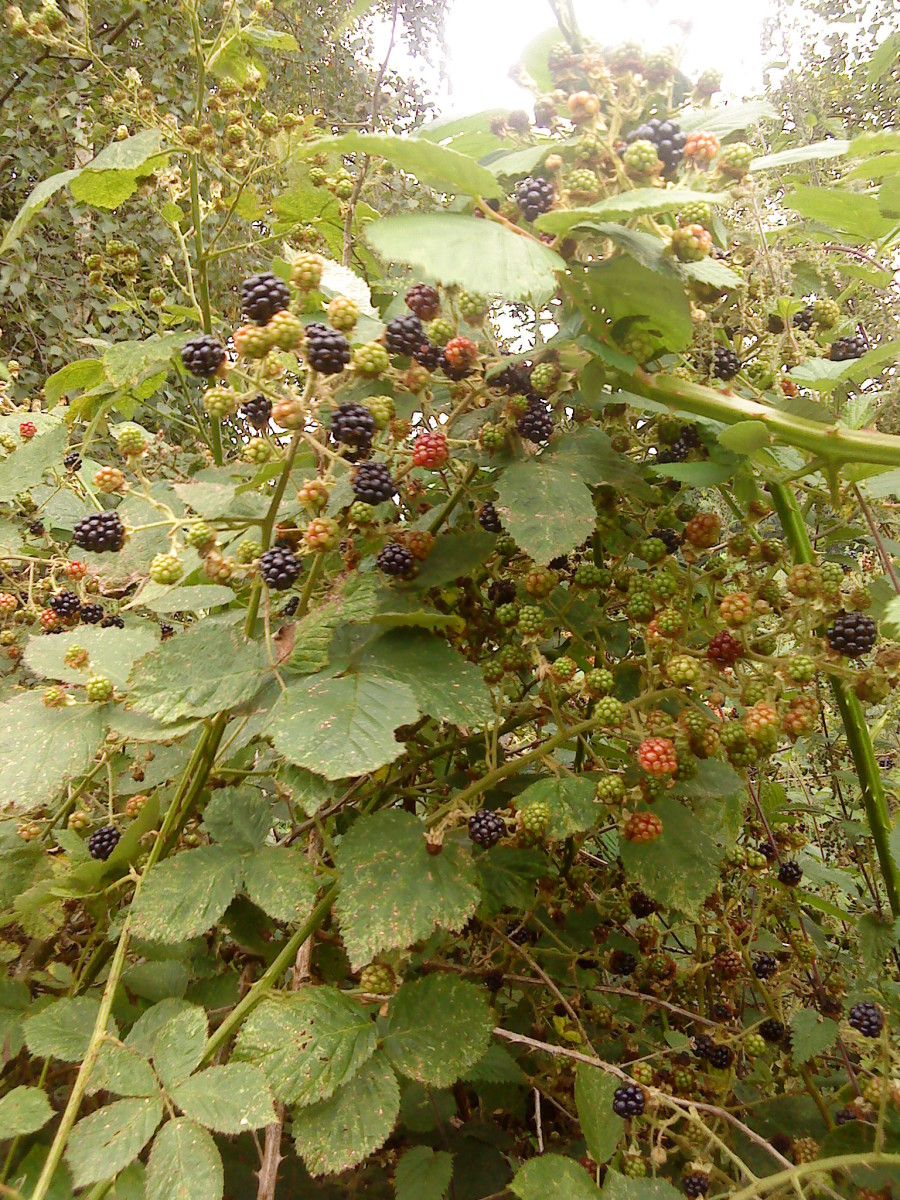 Blackberries - 'first flush' are usually the sweetest.