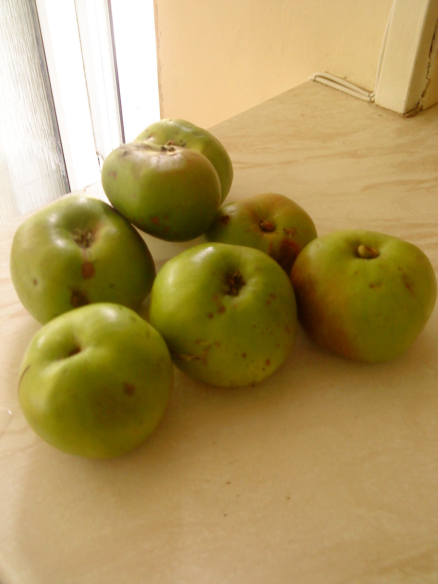Windfall Bramley apples!