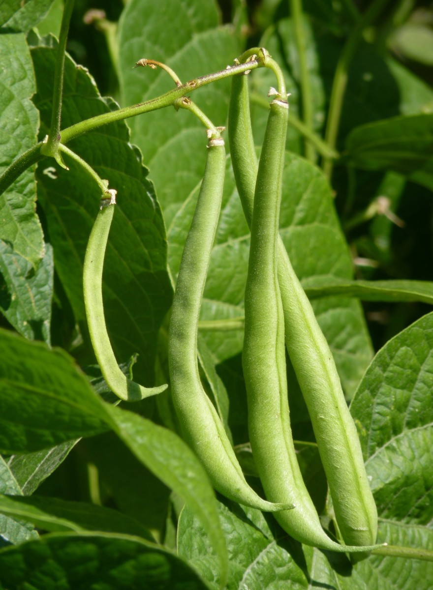 Green beans are a good source of vitamins for a well-balanced diet.