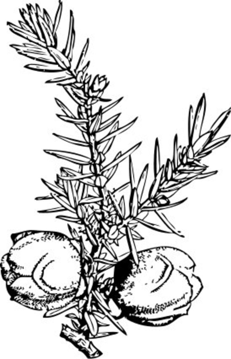 The juniper berry is actually not a berry but instead a female cone that develops on the plant.