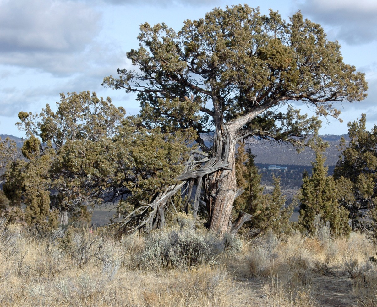 Towering juniper trees hold lush berries but the scrub short junipers are just as prolific.