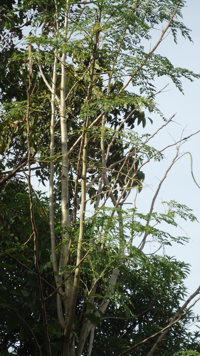 A fully mature Malunggay (Moringa) Tree