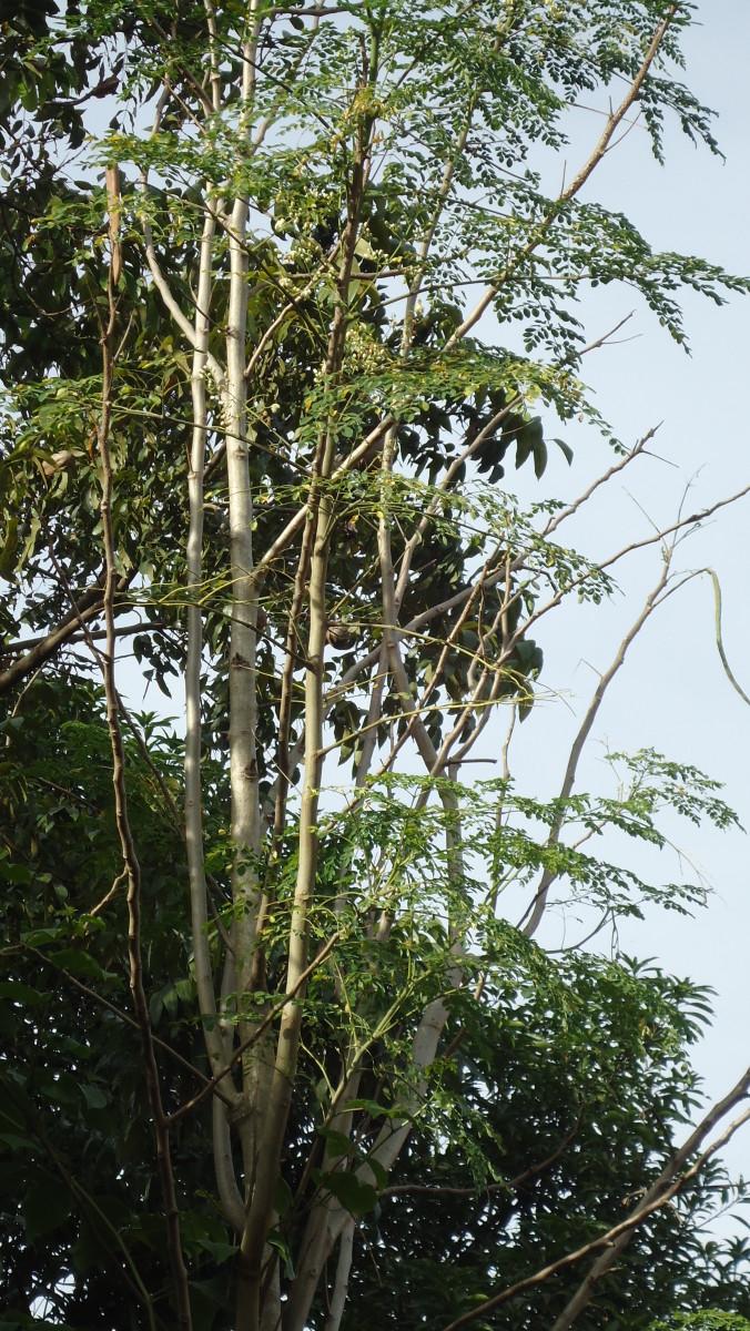 A fully mature Malunggay (Moringa) Tree