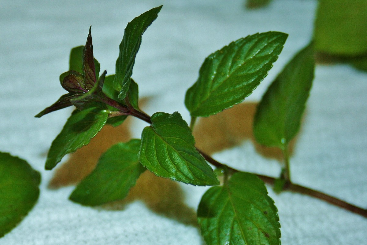 Wash fresh mint leaves well, removing any damaged or yellowed leaves.