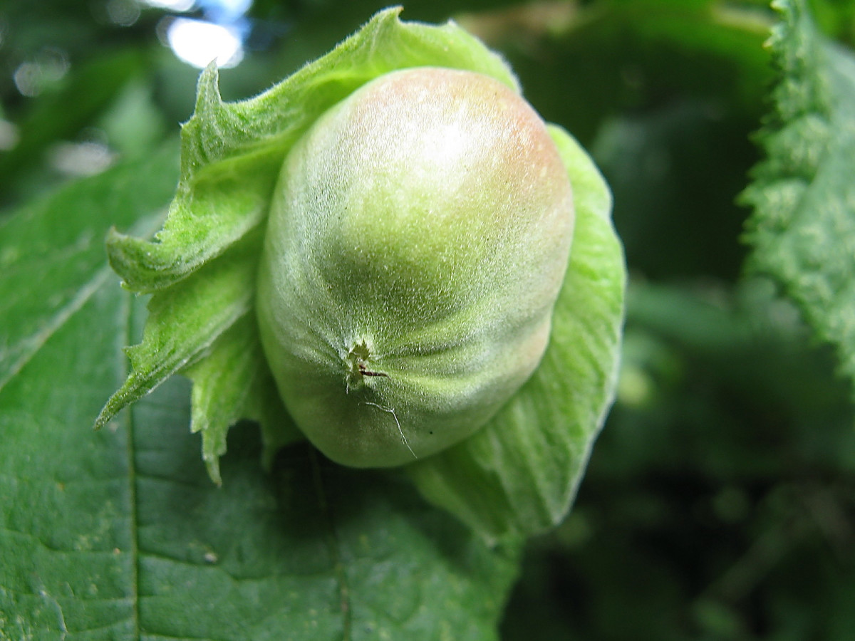 A green hazelnut that is beginning to ripen