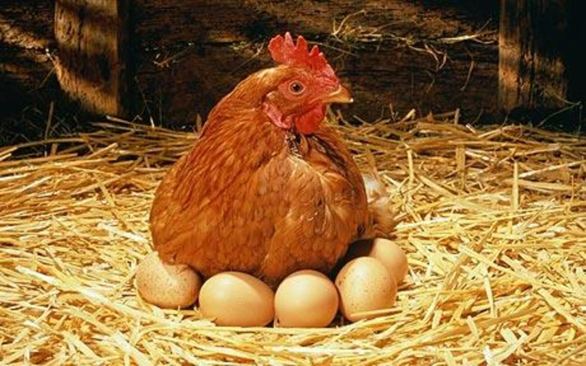 How many eggs can one hen produce?