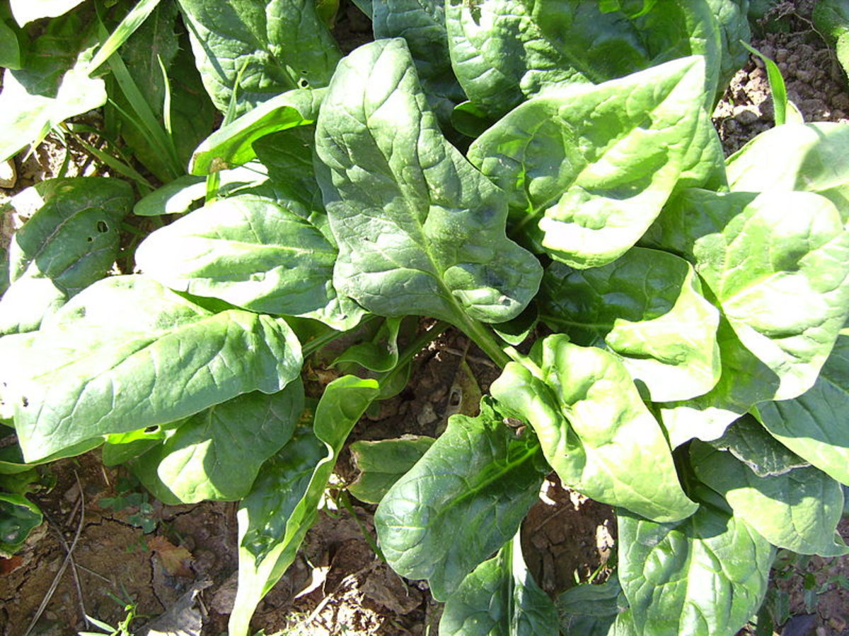 Spinach being grown