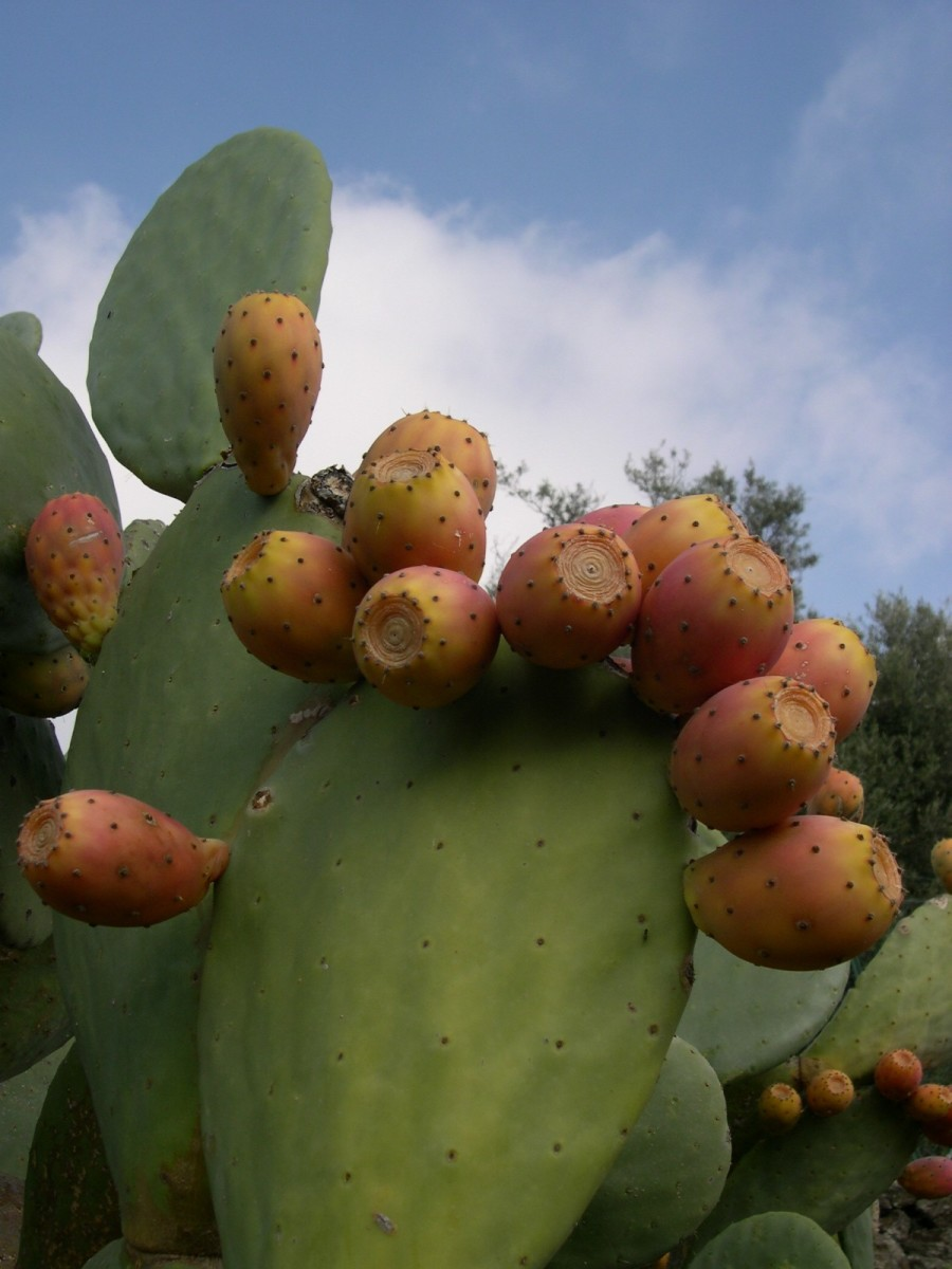 If driving through desert or arid regions, keep an eye out for the prickly pear.