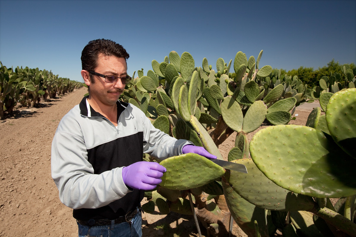 Don't forget to wear gloves when harvesting the stem.