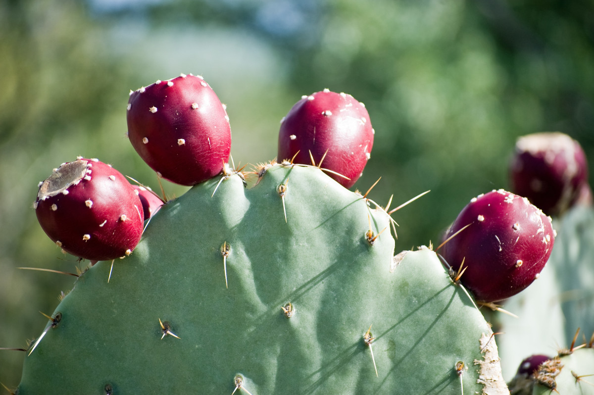 This deep red prickly pear is very ripe and will be very sweet.