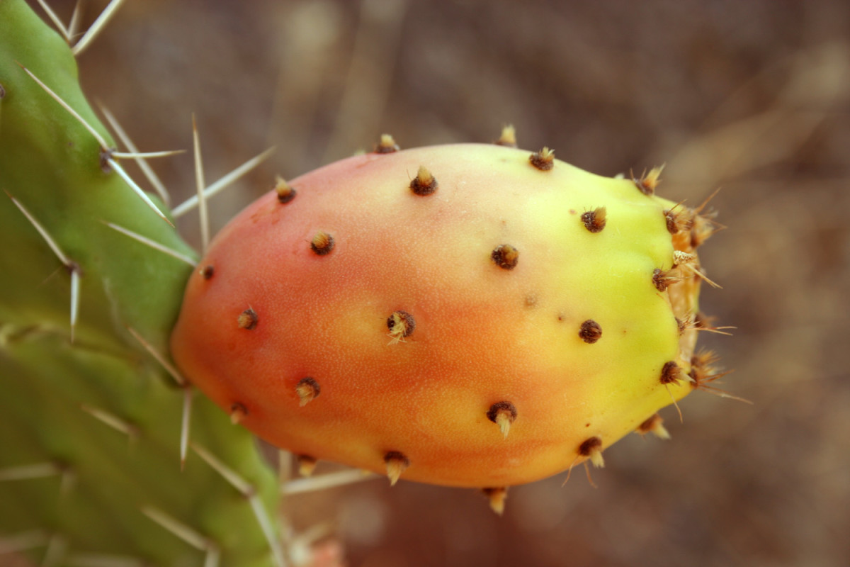 The cactus fruit or tuna may be yellow, green or red to purplish. The deeper the color the sweeter the fruit.