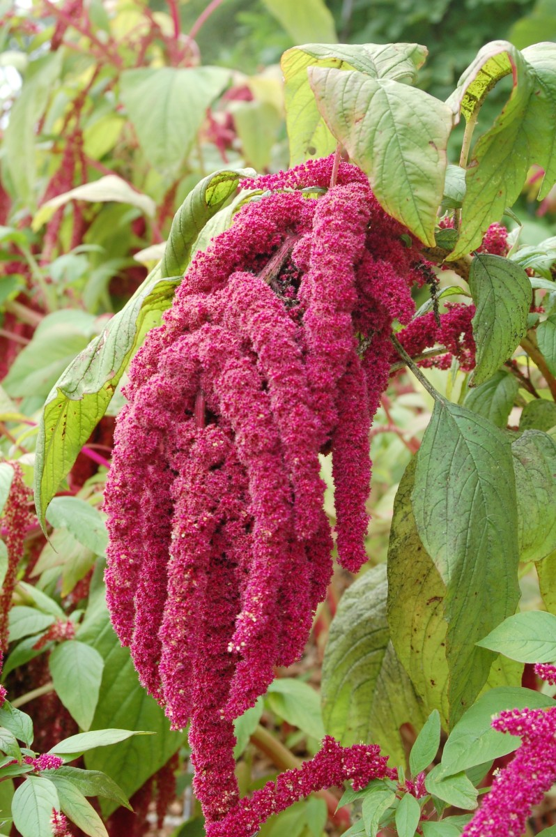 Amaranthus caudataus, love-lies-bleeding, or tassel flower; the red color is due to pigments called betacyanins