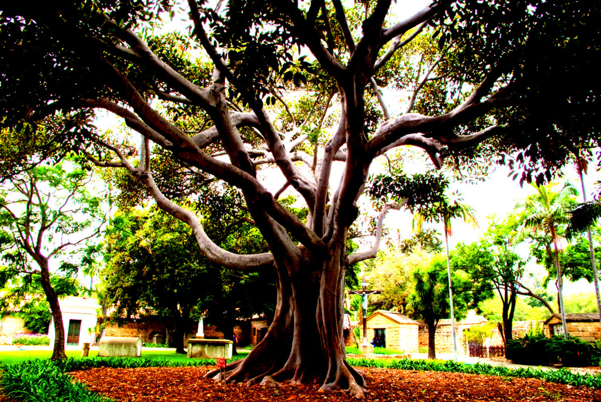 Was the Tree of Life a fig tree?