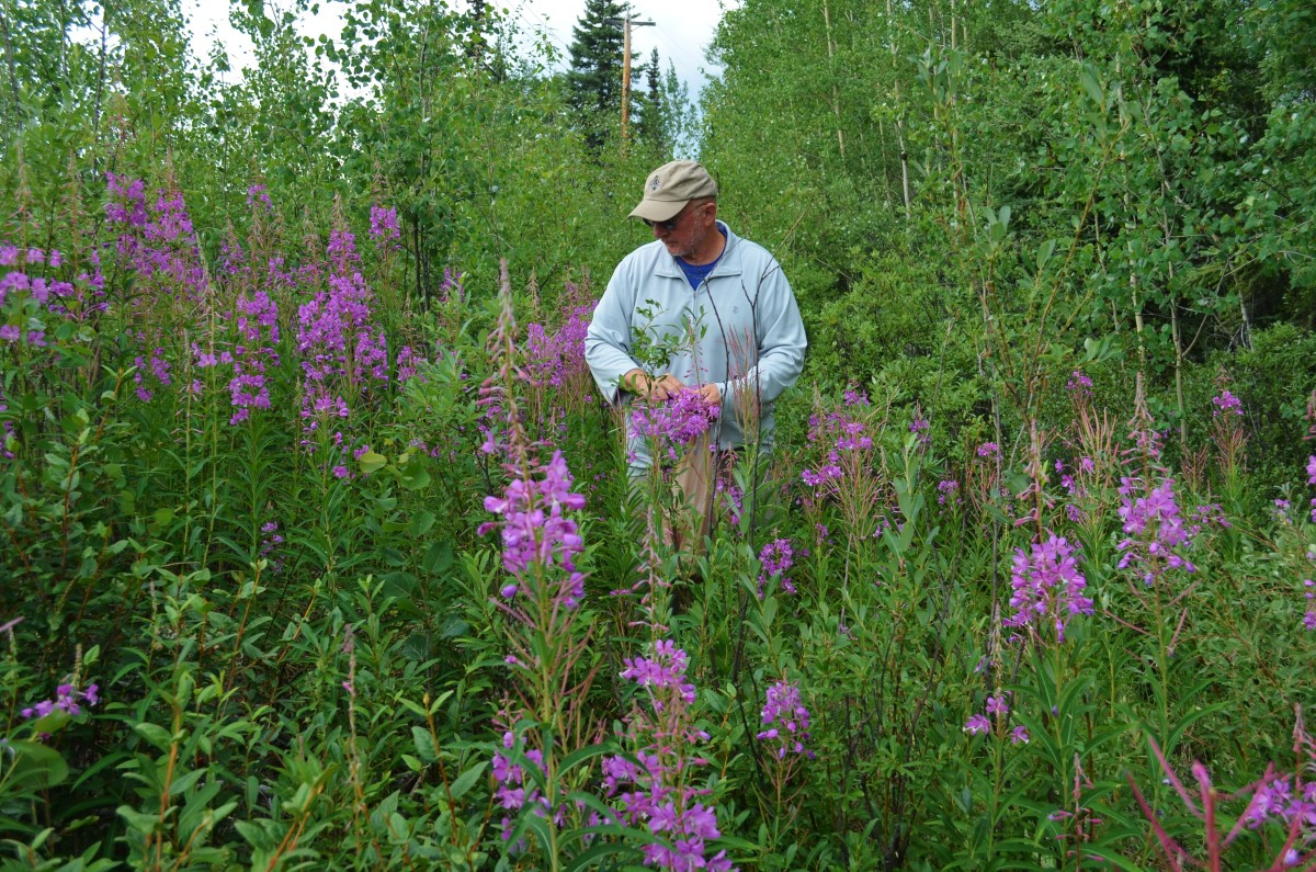 Fireweed is prolific in many states, Canada and Eurasia.  It is even the national flower of Russia. It is named for its ability to spread quickly over recently burned areas of land.