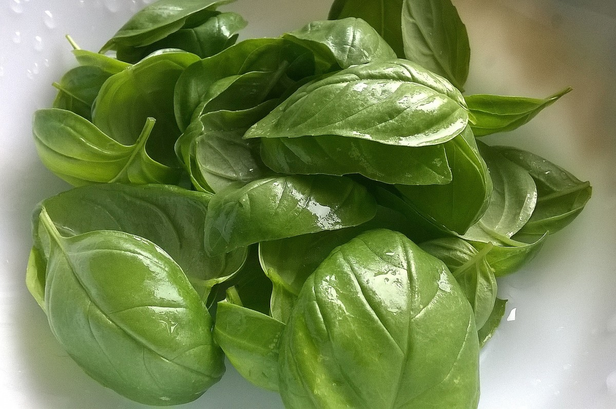 Fresh basil straight from my garden