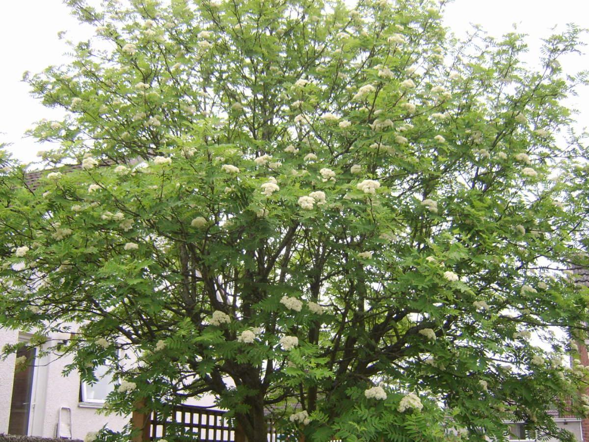 Rowan tree in full bloom in spring.