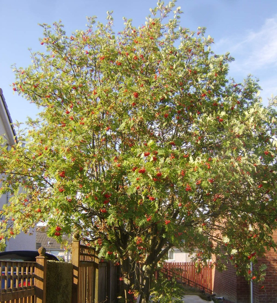 Rowan tree laden with berries in late summer