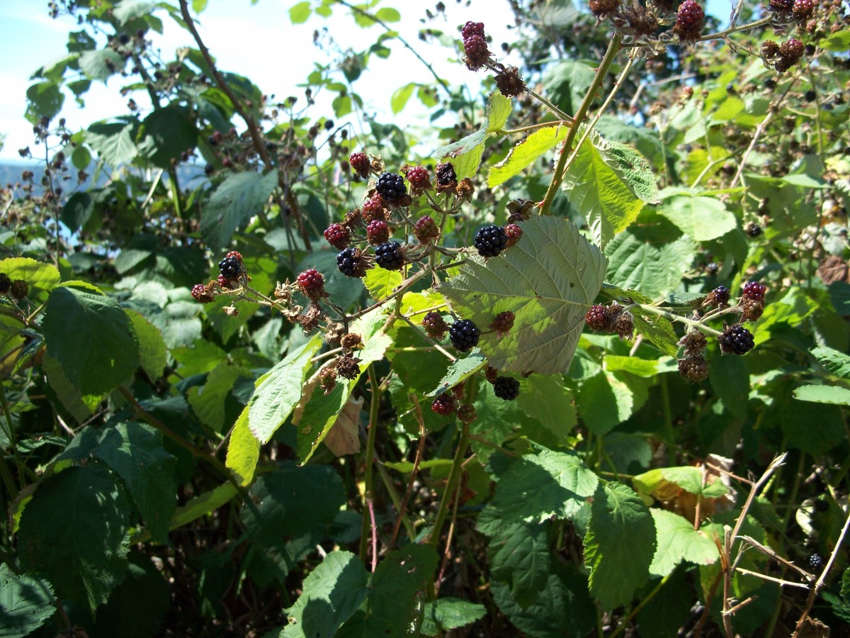 Be careful of thorns when picking blackberries!