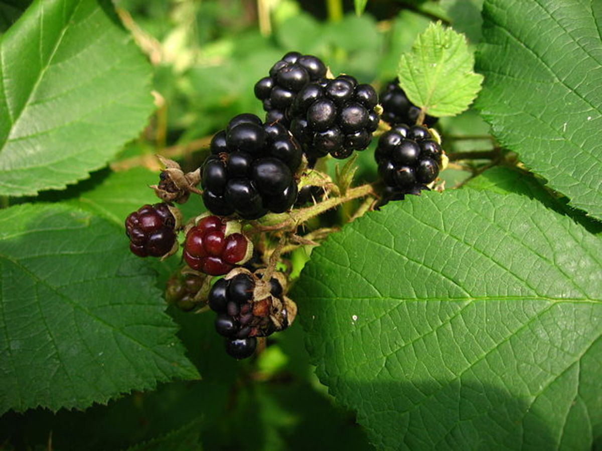 Beautiful ripe blackberries.