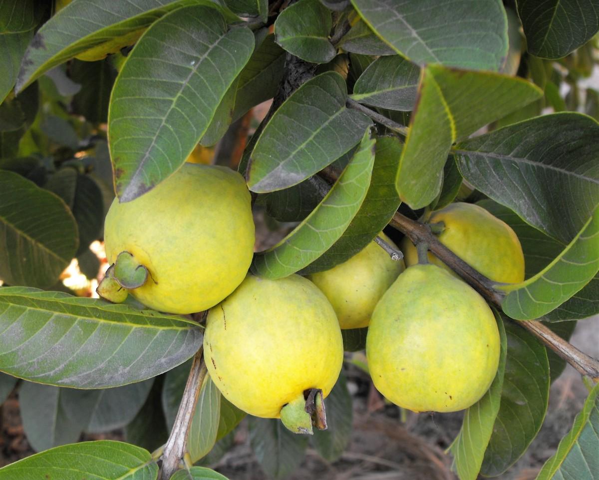Pink Guava Fruit