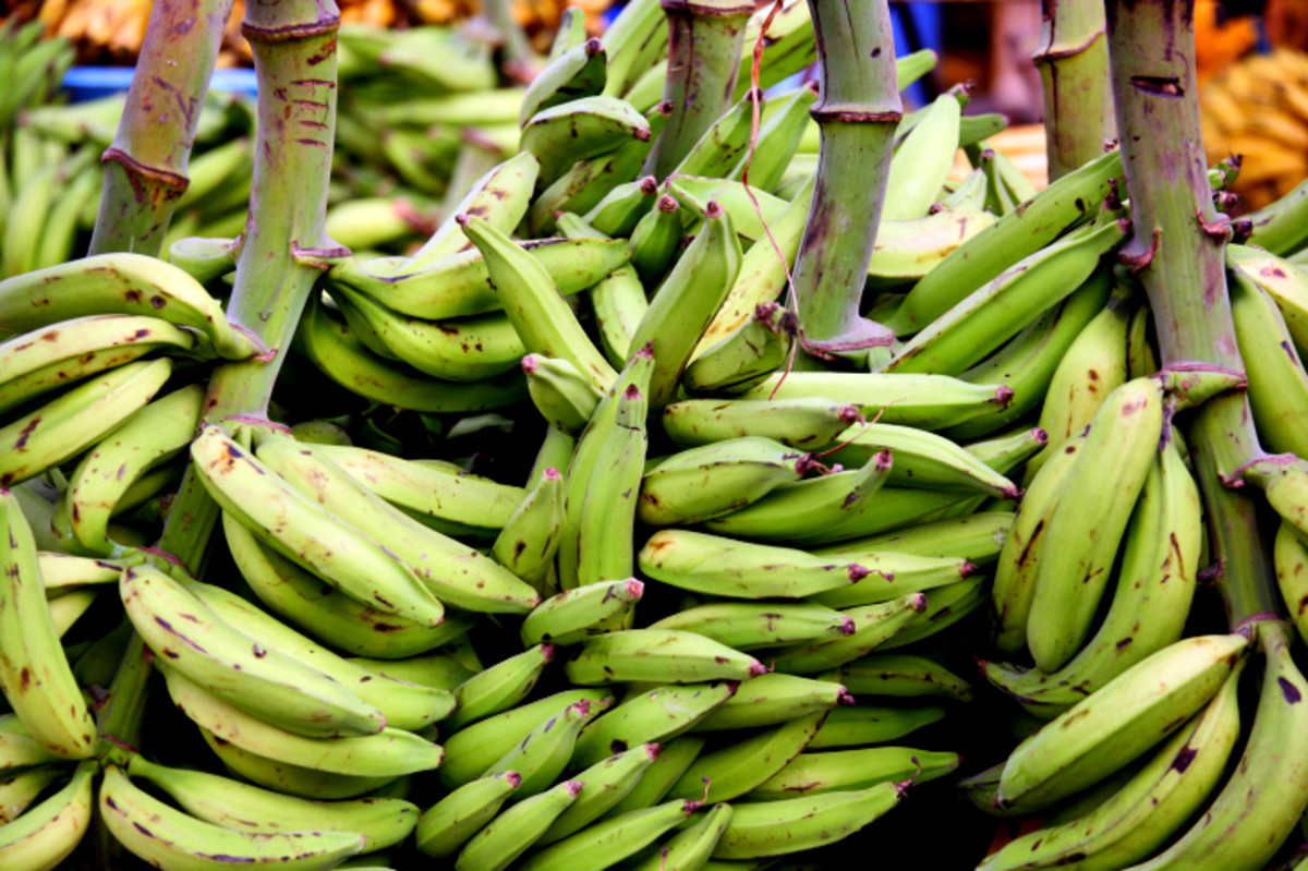 Plantain, banana variety commonly available in the African continent and the West Indies is a good alternative for banana fritters