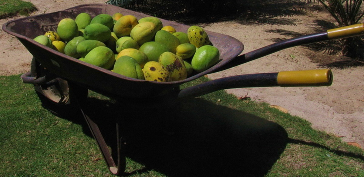 a wheelbarrow full of mangoes