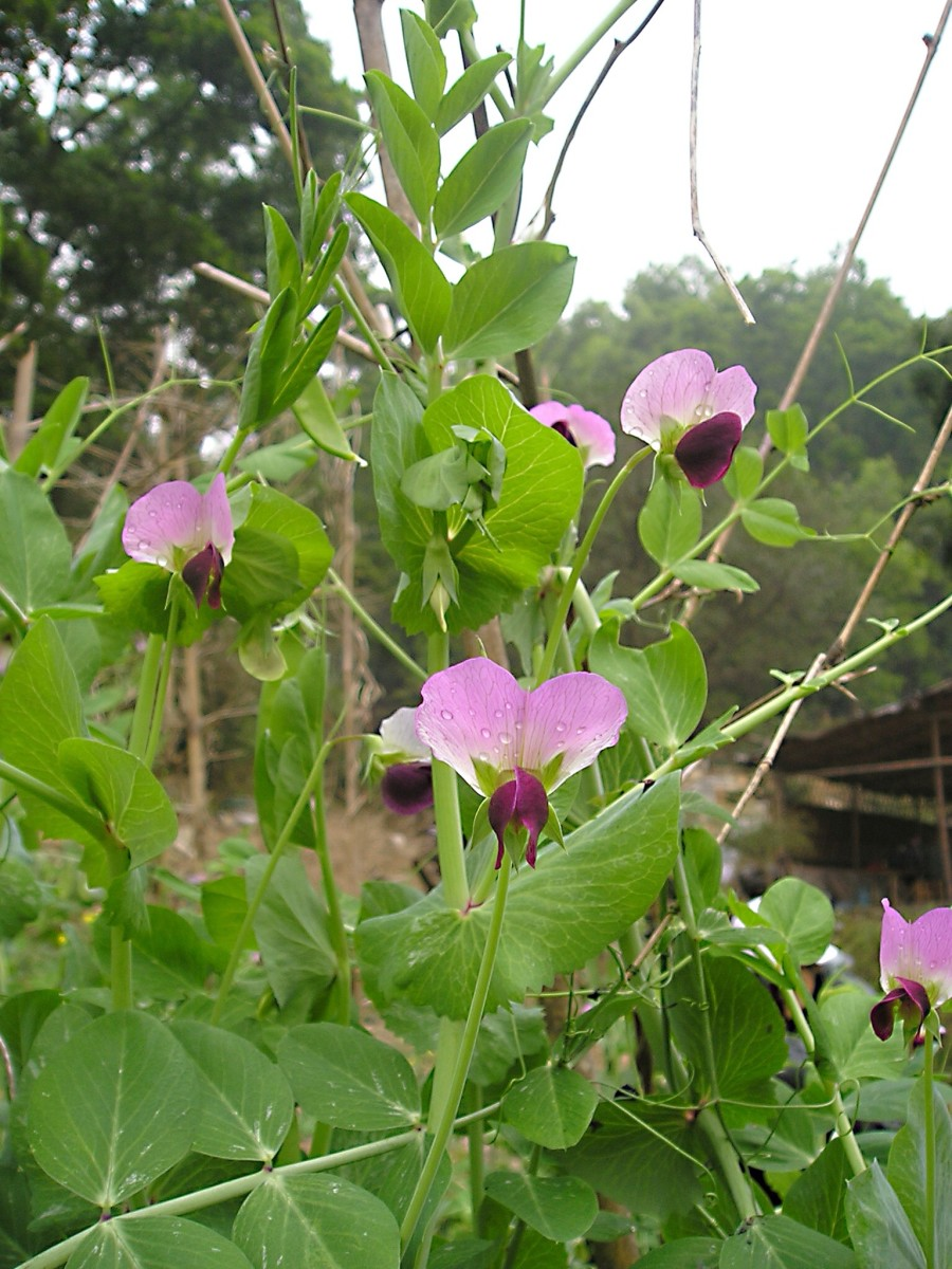 Pink flowers and green leaves of a snow pea