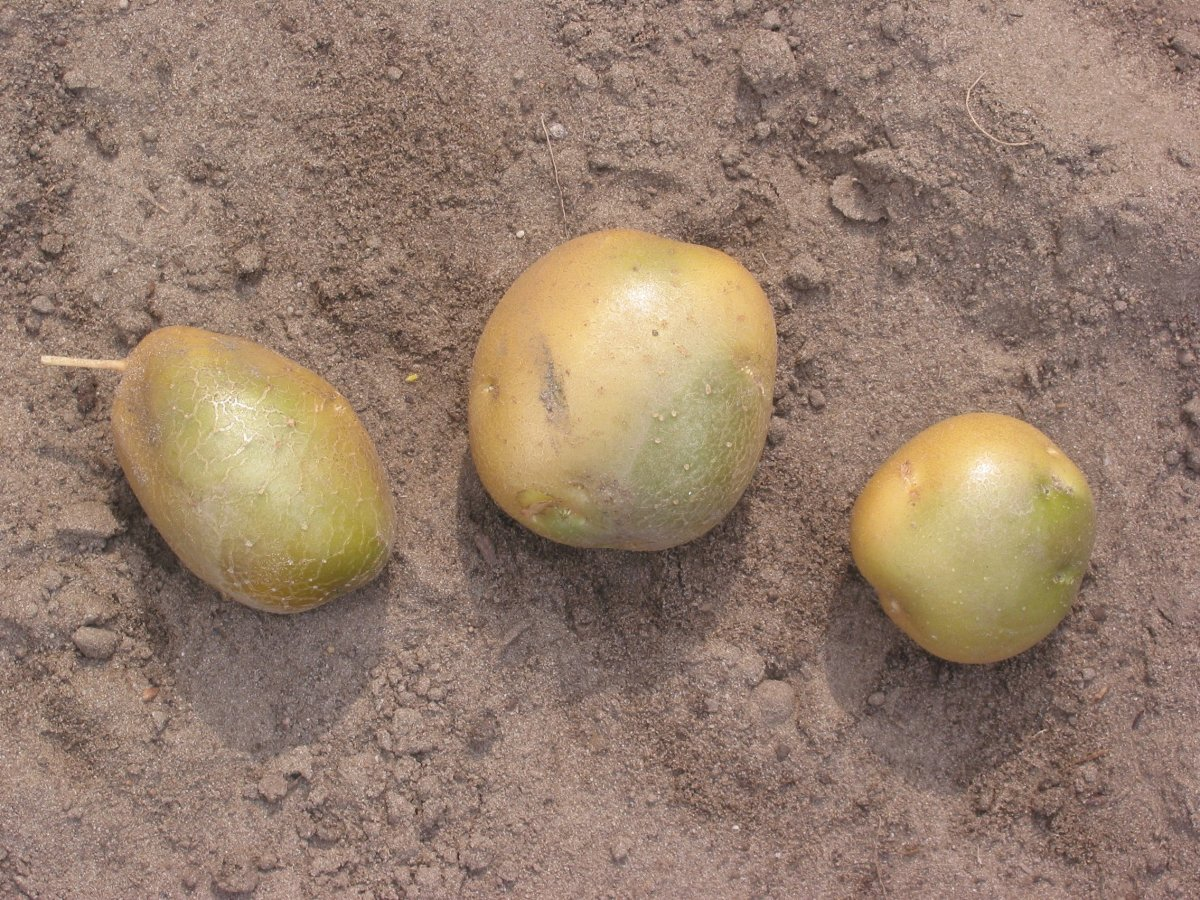 Potatoes that turned green as a result of exposure to light.